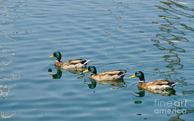 A Trio Of Mallards Art Print