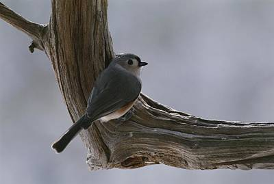Parus Bicolor Photograph - A Tufted Titmouse by George F. Mobley