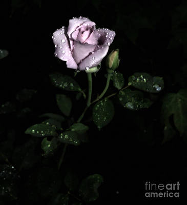 A Vintage Rose Art Print by Eva Thomas