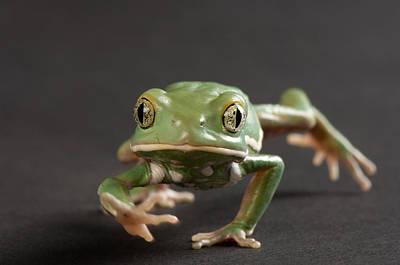 A Waxy Monkey Frog Phyllomedusa Art Print by Joel Sartore