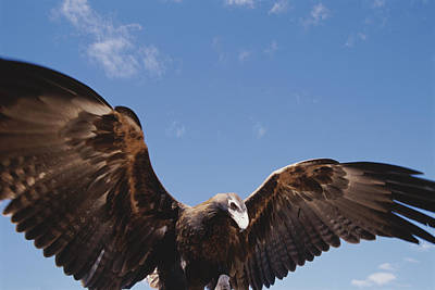 A Wedge-tailed Eagle With Wings Art Print