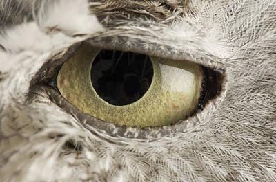 A Western Screech Owl Otus Kennicottii Art Print by Joel Sartore