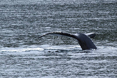 Photograph - A Whale's Tale D3431 by Wes and Dotty Weber