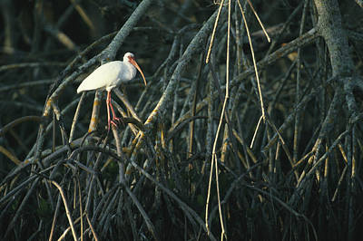 A White Ibis Perches On A Mangrove Tree Art Print by Klaus Nigge