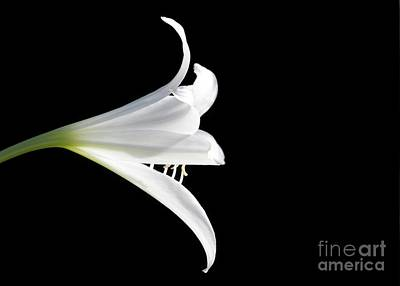 Photograph - A White Lily by Sabrina L Ryan