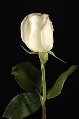 Rosaceae Photograph - A White Rose Rosaceae by Joel Sartore