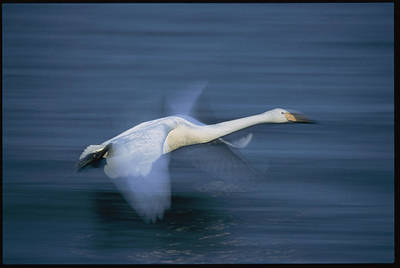 A Whooper Swan Flies Low Over Water Art Print