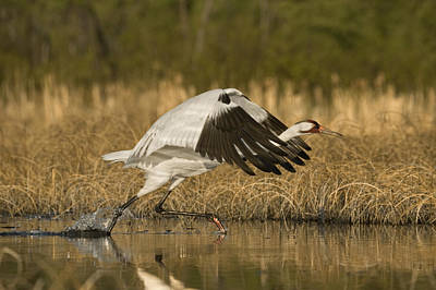 Wood Buffalo Photograph - A Whooping Crane Female Flying by Klaus Nigge