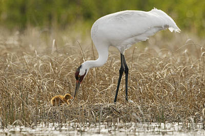 Wood Buffalo Photograph - A Whooping Crane Female Offers An by Klaus Nigge