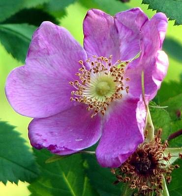 Photograph - A Wild Rose by Chris Anderson