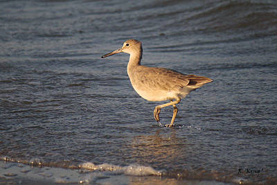 Photograph - A Willet By The Shore by Roena King