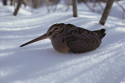 Woodcock Wall Art - Photograph - A Woodcock Sits In The Snow by Bill Curtsinger
