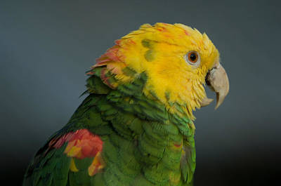 A Yellow-headed Amazon Parrots Amazona Art Print by Joel Sartore