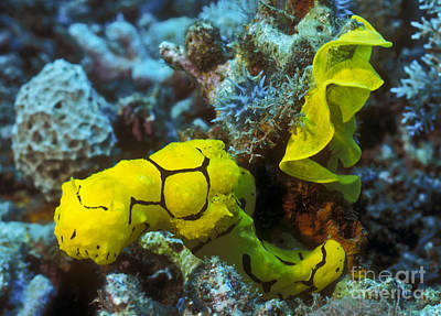 Photograph - A Yellow Nudibranch Crawling Away by Michael Wood