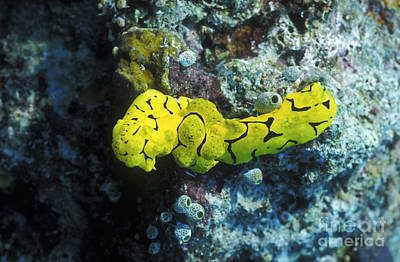Photograph - A Yellow Nudibranch Crawling by Michael Wood
