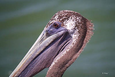 Photograph - A Young Brown Pelican by Roena King
