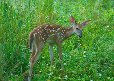 A Young Fawn 8292 2801 Print by Michael Peychich