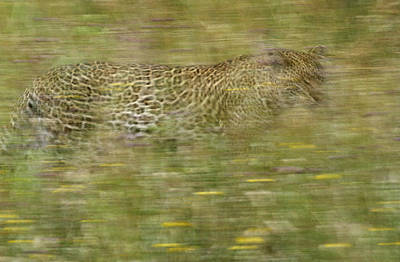 A Young Female Leopard Moving Art Print by Michael Melford