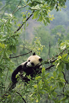 A Young Male Giant Panda, Ailuropoda Art Print by Lu Zhi