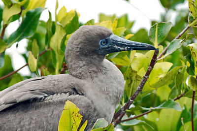 Photograph - A Young Red-footed Booby by Harvey Barrison