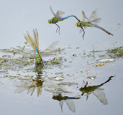 Dragonflies Mating Photograph - Above And Below by Fraida Gutovich