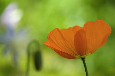 Poppie Digital Art - Abstract Back With Orange Poppy by Carolyn Dalessandro