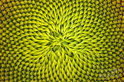 Photograph - Abstract Sunflower Pattern by Benanne Stiens