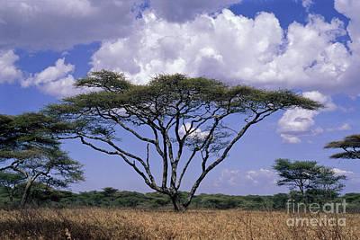 Photograph - Acacia Trees On The Serengeti Plain by Greg Dimijian