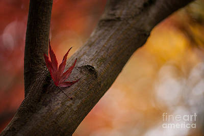 Crimson Red Photograph - Acer Soliloquy by Mike Reid