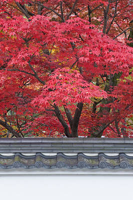 Acer Trees Acer Palmatum. Autumn Color Art Print by Rob Tilley