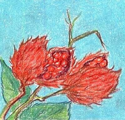 Taino Drawing - Achiote by Judith Correa