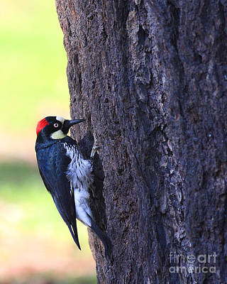 Photograph - Acorn Woodpecker . 40d10893 by Wingsdomain Art and Photography
