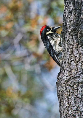 Photograph - Acorn Woodpecker On Oak by Gregory Scott