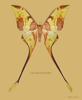 Digital Art - Actias Maenas Moth Male by Walter Colvin