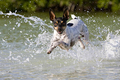 Rat Terrier Photograph - Active Rat Terrier Dog Jumping by Karine Aigner
