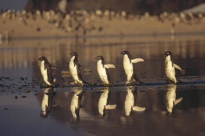 Antarctic Ocean Photograph - Adelie Penguin Pygoscelis Adeliae Group by Tui De Roy
