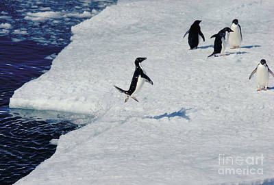 Photograph - Adelie Penguin Rocketing Onto Pack Ice by Gregory G. Dimijian