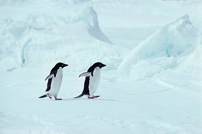 Antarctica Photograph - Adelie Penguins, Antarctica by Chris Sattlberger