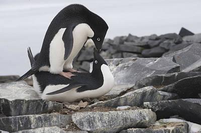 Mar2713 Photograph - Adelie Penguins Mating  Antarctica by Flip Nicklin