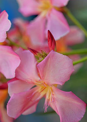 Photograph - Adenium - Desert Rose by Dan McManus