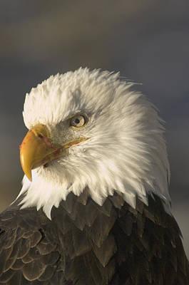 Adult Bald Eagle Art Print by Michael S. Quinton