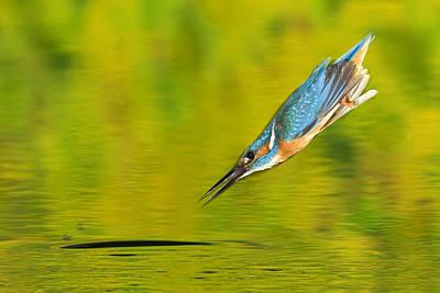 Adult Male Common Kingfisher, Alcedo Art Print by Joe Petersburger