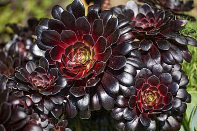 Aeonium Photograph - Aeonium Arboreum Var. Atropurpureum by Dr Keith Wheeler