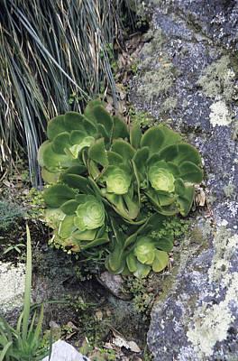 Aeonium Photograph - Aeonium Plants by Adrian Thomas