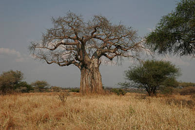 African Baobab Tree In The Tarangire Art Print by Gina Martin