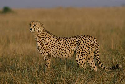African Cheetah Acinonyx Jubatus Art Print by Michael Nichols