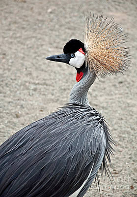 Photograph - African Crowned Crane Bird by Valerie Garner