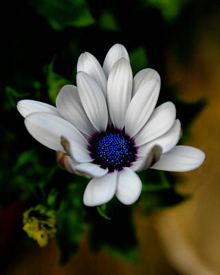 Art Print featuring the photograph African Daisy by Lynne Jenkins