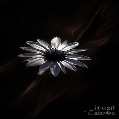 Photograph - African Daisy The Loyal Love by Danuta Bennett