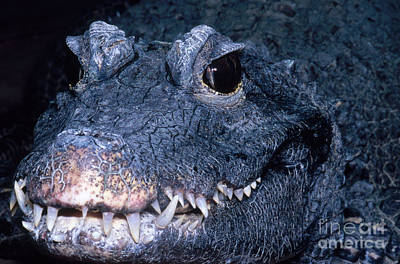 Crocodile Photograph - African Dwarf Crocodile by Dante Fenolio